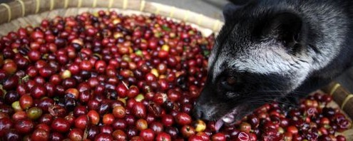 Luwak eating coffee berries