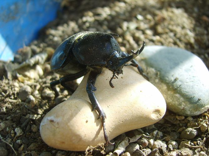 Scarab_beetle_on_a_rock