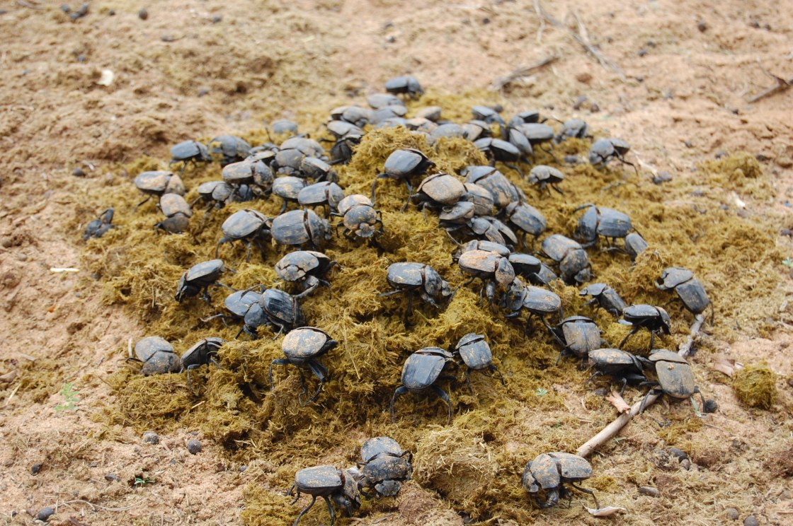 Dung beetle feast on fresh horse dung. Public domain.